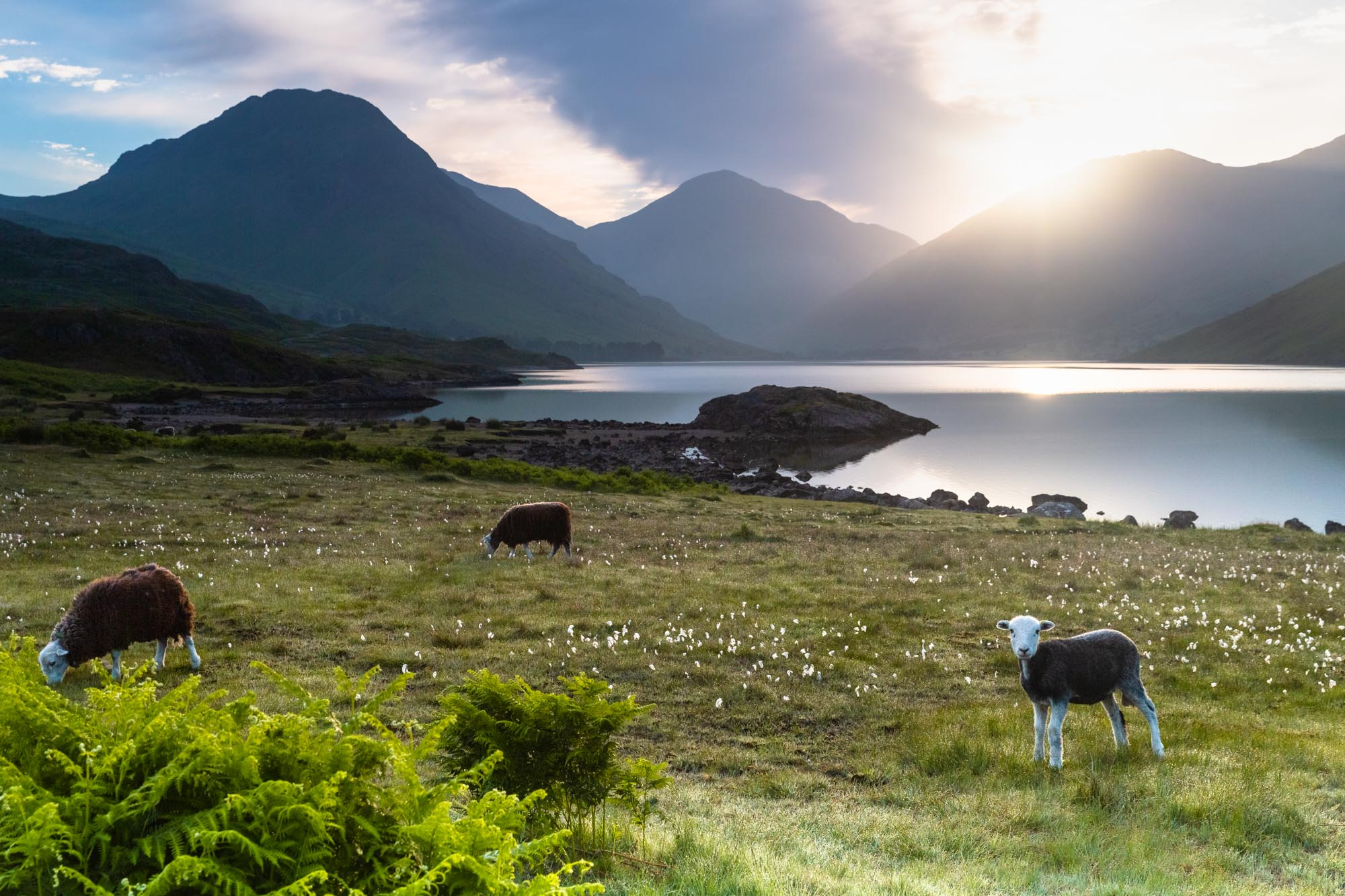 A Curious Baby Herdwick Sheep. Sunrise On Wastwater