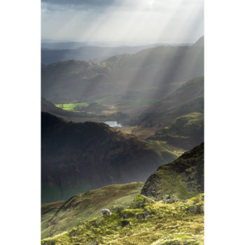 Herdwick Sheep And Sun Rays From Great Langdale
