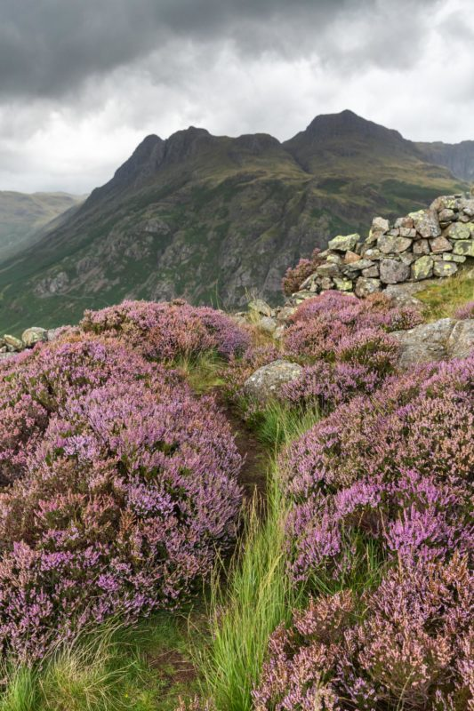 Heather On Side Pike. The Lake District
