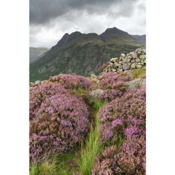 Heather And The Langdale Pikes. Side Pike. The Lake District Loose Print