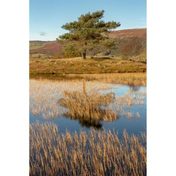 The Lone Tree Through The Reeds on Kelly Hall Tarn. The Lake District Loose Print