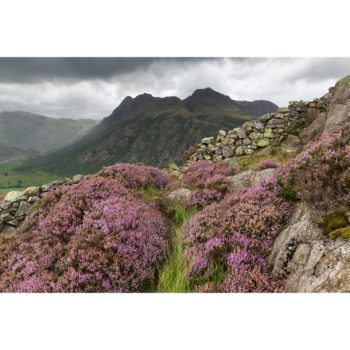 Walking Through The Heather To The Langdale Pikes. Side Pike Loose Print