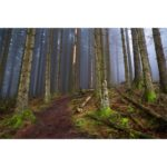Mist Rolling Through The Pine Trees The Lake District Loose Print