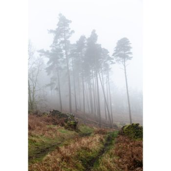 Scots Pine In The Mist The Lake District Loose Print