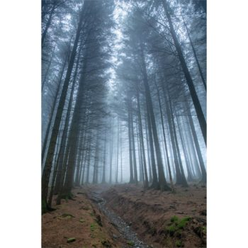 Mist Between The Pine Trees. The Lake District Loose Print