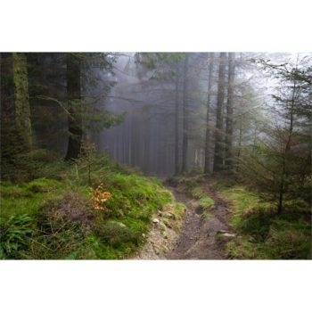 The Entrance To A Misty Pine Forest. The Lake District Loose Print