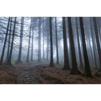 Track Through The Misty Pine Forest. The Lake District Loose Print