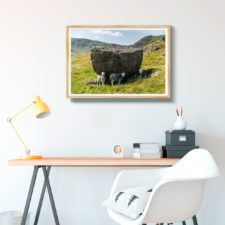 Herdwick Sheep Sheltering From The Lake District Sun