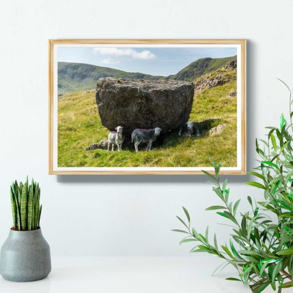 Herdwick Sheep Sheltering From The Lake District Sun2